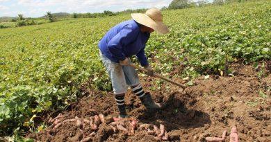 Pesquisa revela que Sergipe é o maior produtor de batata-doce do nordeste