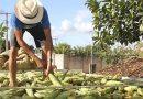 SE deve se manter como 4º maior produtor de milho do Nordeste em 2021