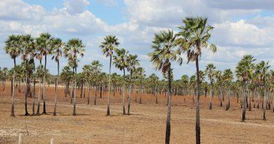 Piauí é mais uma vez o maior produtor de pó de carnaúba do país, aponta pesquisa do IBGE